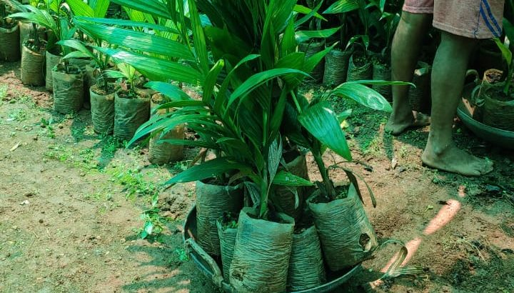 arecanut plants for sale