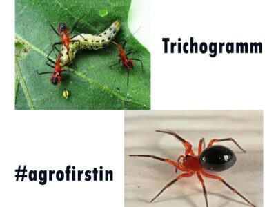 Who is Trichogramm insects
